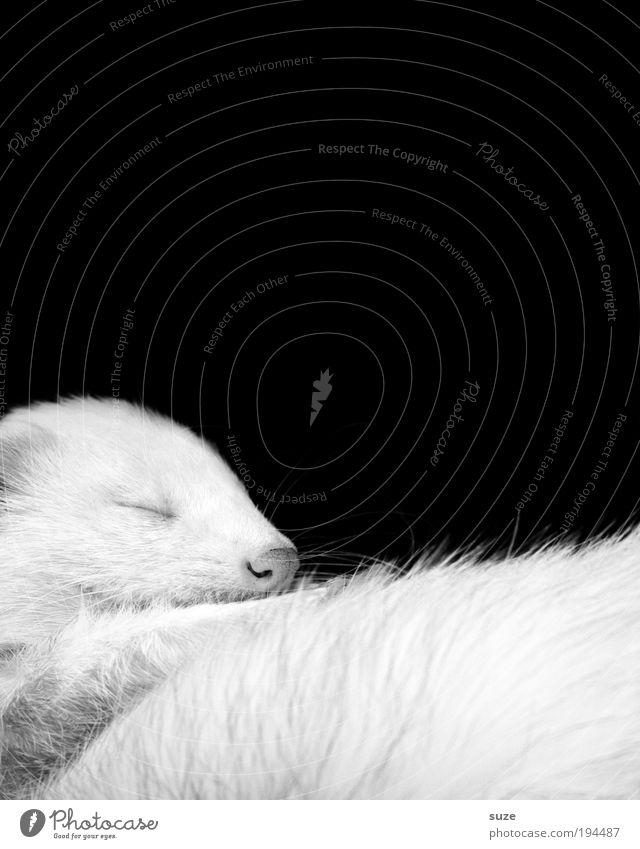 black-and-white photo Pelt Animal Pet Wild animal Lie Sleep Dream Cute Beautiful Black White Love of animals Loyalty Western polecat Marten Animal protection
