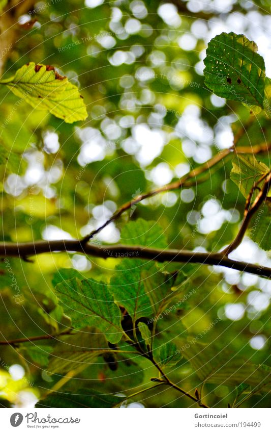 Nature Green Tree Plant Summer Leaf Environment Spring Park To go for a walk Environmental protection Autumnal Twigs and branches Lens flare Nut Deciduous tree