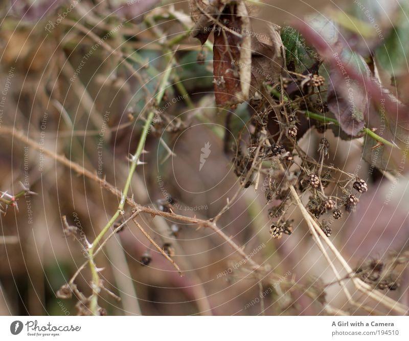 I forgot, too..... too bad! Environment Nature Plant Animal Autumn Bushes Fruit Fruity Thorn Prickly bush Blackberry Blackberry bush Feeding To enjoy Hang