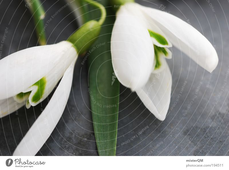 Spring Love. Environment Nature Plant Esthetic Spring fever Spring flower Spring day Spring celebration Spring colours Snowdrop Spring flowering plant White