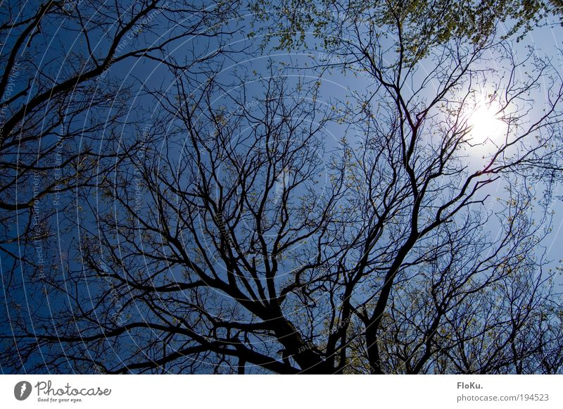 through the crown Environment Nature Plant Air Sky Cloudless sky Sun Sunlight Beautiful weather Tree Leaf Blue Treetop Flashy Blue sky Twigs and branches