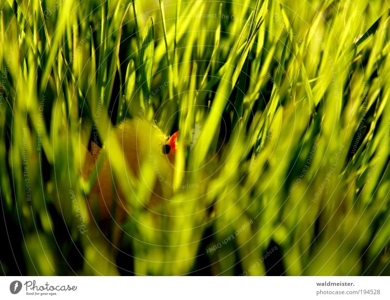 chick Easter Grass Chick Baby animal Spring fever Green Hide Decoration Yellow Colour photo Blur Shallow depth of field