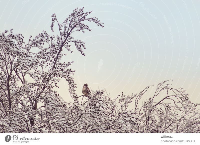 Tree Winter Cold Snow Wild animal Owl birds Alder Strix Eagle owl