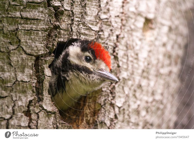 Little spotted woodpecker looks out of his tree hollow Nature Tree Forest Feeding Communicate Healthy Sustainability Natural Curiosity Cute Appetite Animal Beak