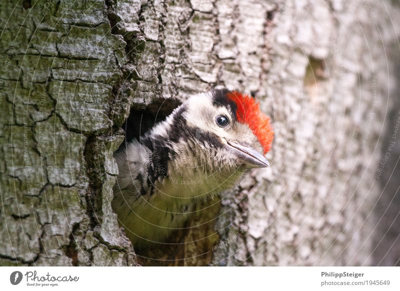 Nature Youth (Young adults) Animal Natural Small Bird Feather Cute Curiosity Tilt Hollow Beak Cave Feeding Oak tree Woodpecker
