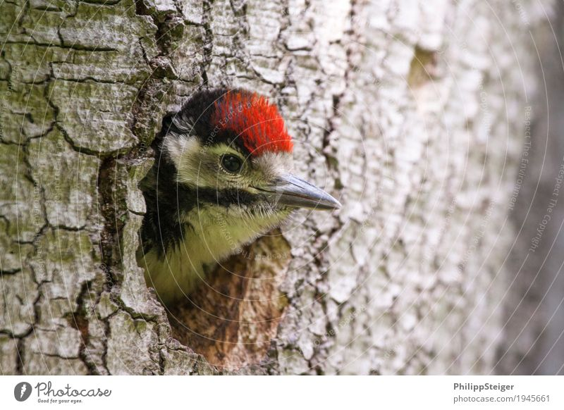 Nature Tree Animal Small Bird Flying Wait Curiosity Discover Beak Ecological Feeding Oak tree Woodpecker Spotted woodpecker