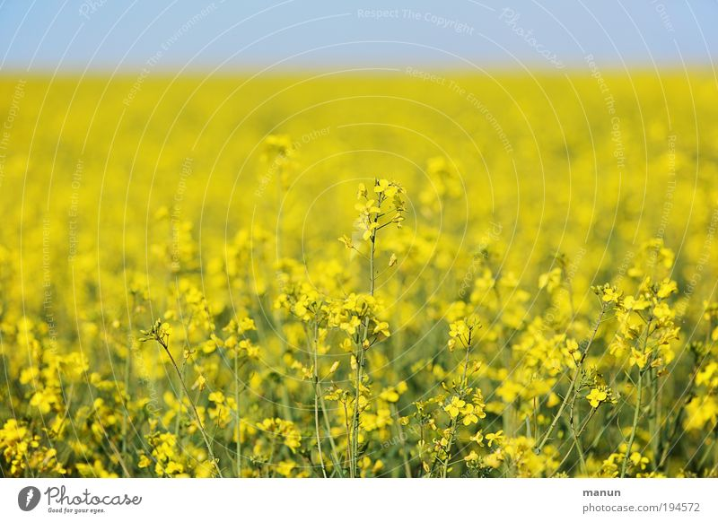 rapsfeld Food Cooking oil Nutrition Energy industry Renewable energy Nature Cloudless sky Spring Summer Plant Agricultural crop Canola Oilseed rape cultivation