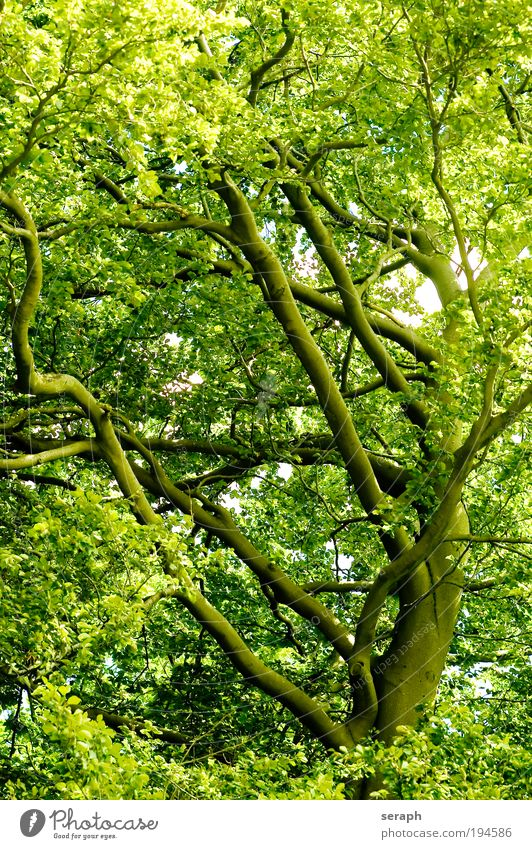 Green Lung tree leaf Leaf drink crown of tree crust wood Branch Branchage Environmental protection green lung Oxygen age old giant labyrinth twigs Healthy