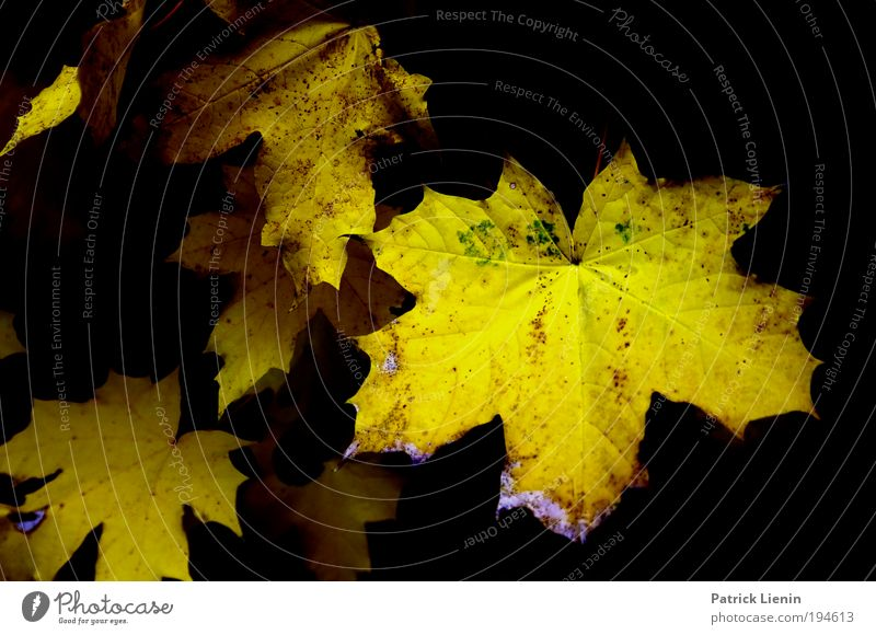 Nature Plant Leaf Black Yellow Autumn Environment Gloomy Point Decline To enjoy Deep Maple tree Leaf canopy Bleached