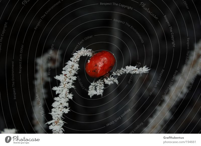"Rosehip on ice stick Winter Ice Frost Plant ""Rosehip hepatic iced Frozen Itching powder."" Red White Cold Nature edible Colour photo Exterior shot Flash photo"