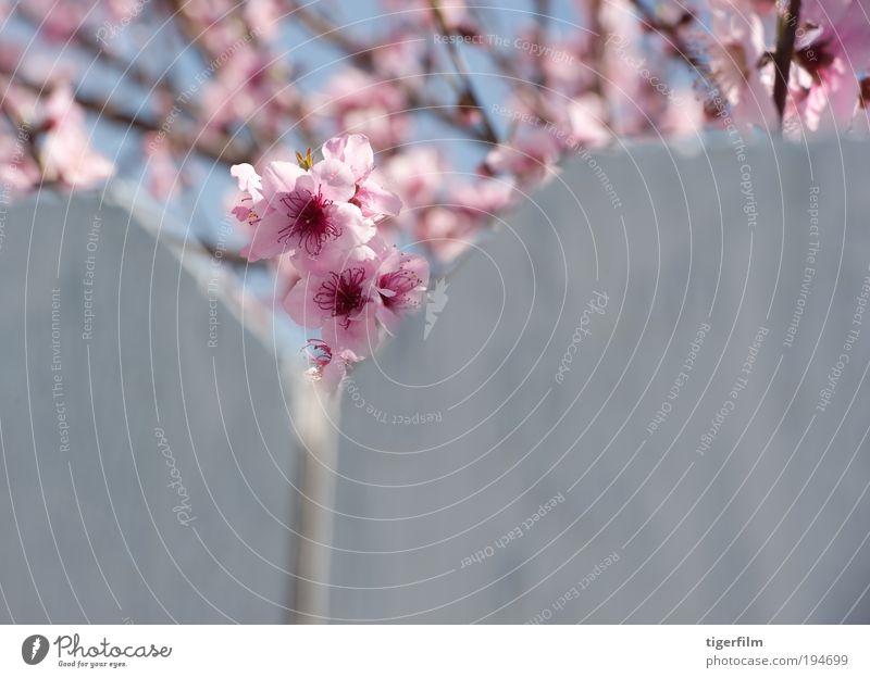 cherry blossom peeks Beautiful Flower Peak Blossom leave Mountain