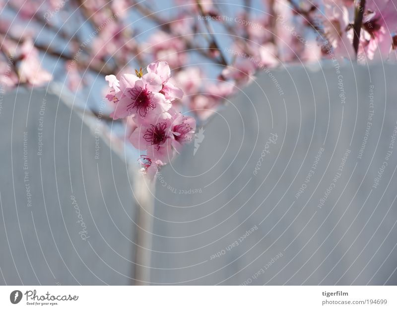 cherry blossom peeks cherry; tree; blossom; pink; fence; white; nature; branch; bloom; spring; springtime Beautiful pretty Peak Close-up Flower stem