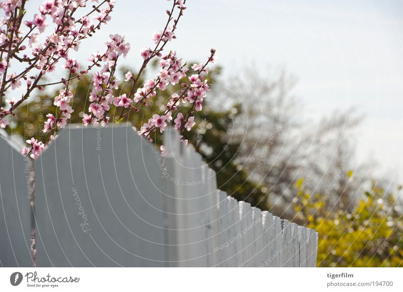 cherry blossom branches over the fence cherry; tree; blossom; pink; fence; white; nature; branch; bloom; spring; springtime Beautiful pretty Peak Close-up