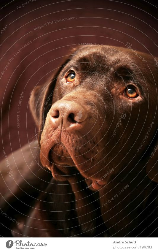 Animal Dog Brown Animal face Lie Observe Trust Joie de vivre (Vitality) Friendliness Pet Anticipation Snout Labrador Emotions Love of animals Loyal