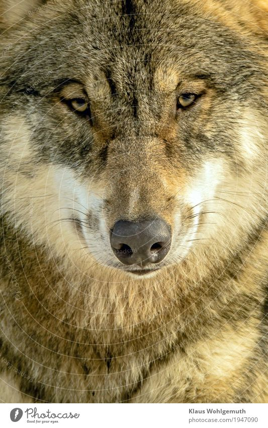 Nature White Animal Winter Environment Gray Brown Hair Wait Observe Threat Curiosity Set of teeth Pelt Zoo Wolf