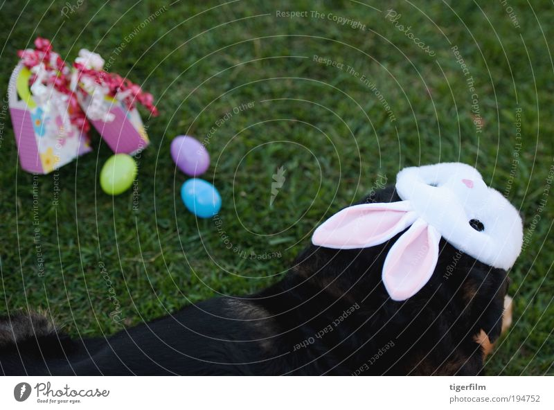 dog joining the fun at easter Black Colour Grass Feasts & Celebrations Gift Ear Lawn Mask Easter Egg Hare & Rabbit & Bunny Surprise Public Holiday Dress up