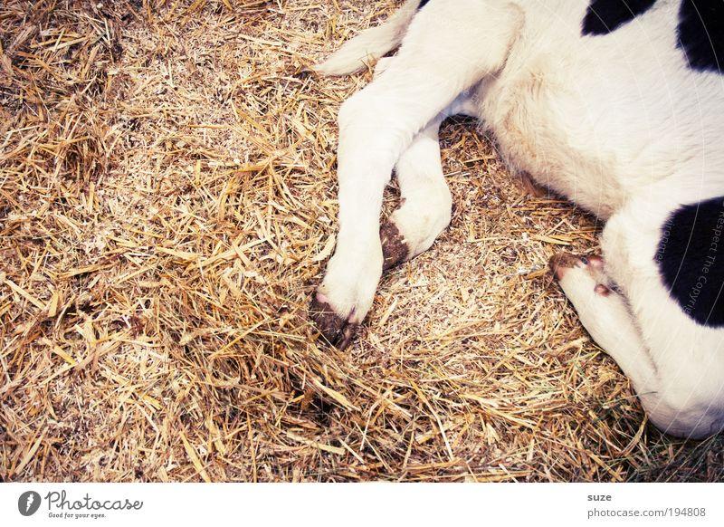 1x knuckle of veal Animal Farm animal Cow Baby animal Sleep Love of animals Calf Dappled Speckled Straw Barn Animalistic Legs Colour photo Subdued colour Detail