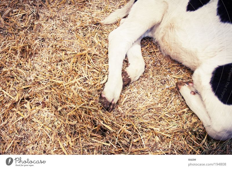 Animal Legs Sleep Cow Animalistic Straw Barn Calf Dappled Speckled Farm animal Baby animal Love of animals