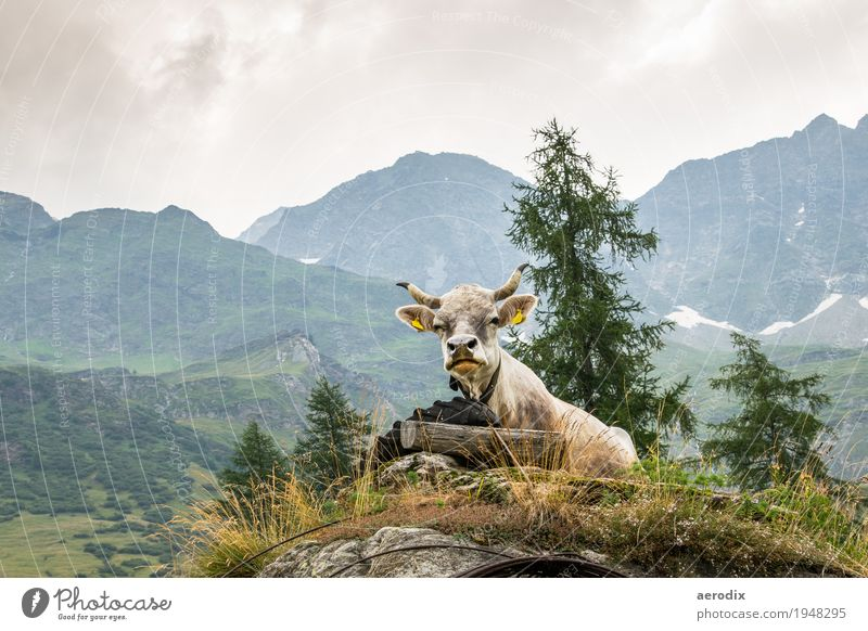 a cow is enthroned against an alpine background Nature Landscape Alps Mountain Farm animal Cow 1 Animal Authentic Brash Funny Natural mountains Alpine Sit