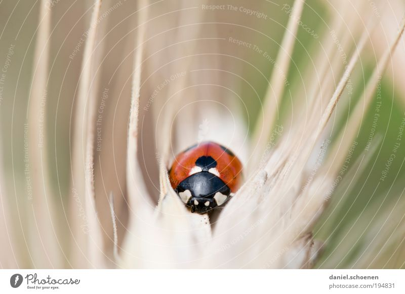 wild beast Environment Nature Farm animal Beetle 1 Animal Crawl Red Happy Ladybird Animal portrait