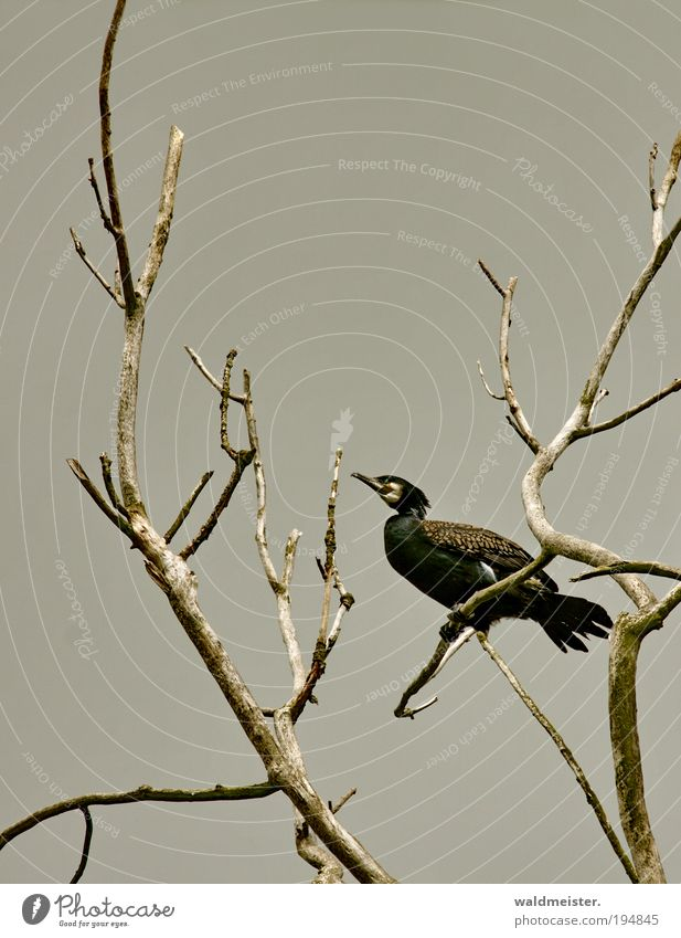 Sky Tree Animal Bird Sit Branch Watchfulness Environmental protection Cormorant Endangered species