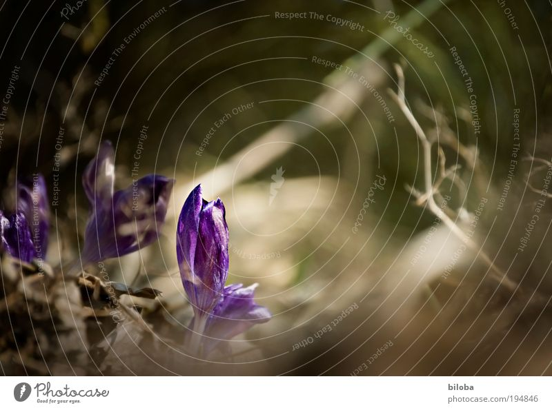 spring awakening II Environment Nature Plant Flower Blossom Crocus Fresh Beautiful Natural New Curiosity Blue Green Emotions Moody Joy Happy Spring fever Sprout