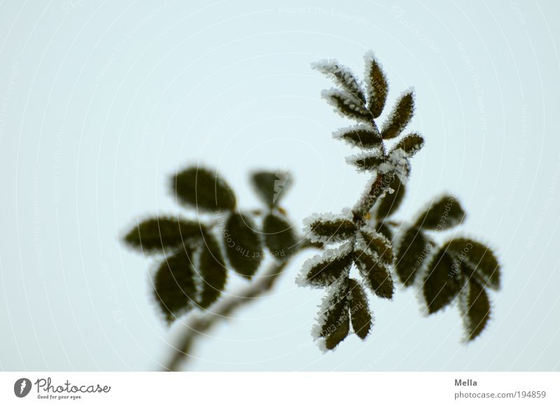 brimful Environment Nature Plant Winter Climate Ice Frost Flower Rose Leaf Cold Natural Gloomy Gray Green Colour photo Subdued colour Exterior shot Deserted