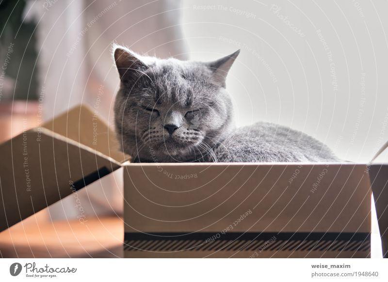 Beautiful grey cat sleeping in box. British kitten sleep Cat White Animal Joy Baby animal Small Gray Flat (apartment) Open Sit Gift Cute Soft Sleep Curiosity