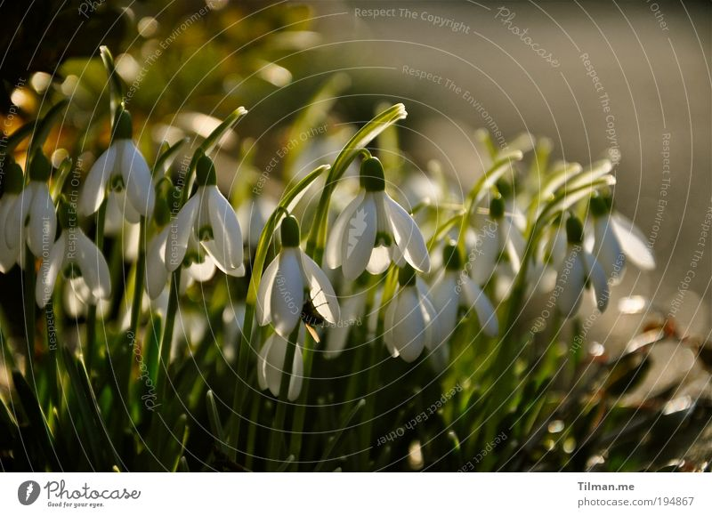 Snowdrops in the evening sun Fragrance Nature Plant Spring Beautiful weather Meadow Blossoming Hang Growth Healthy Happy Kitsch Small Cute Gold Green White