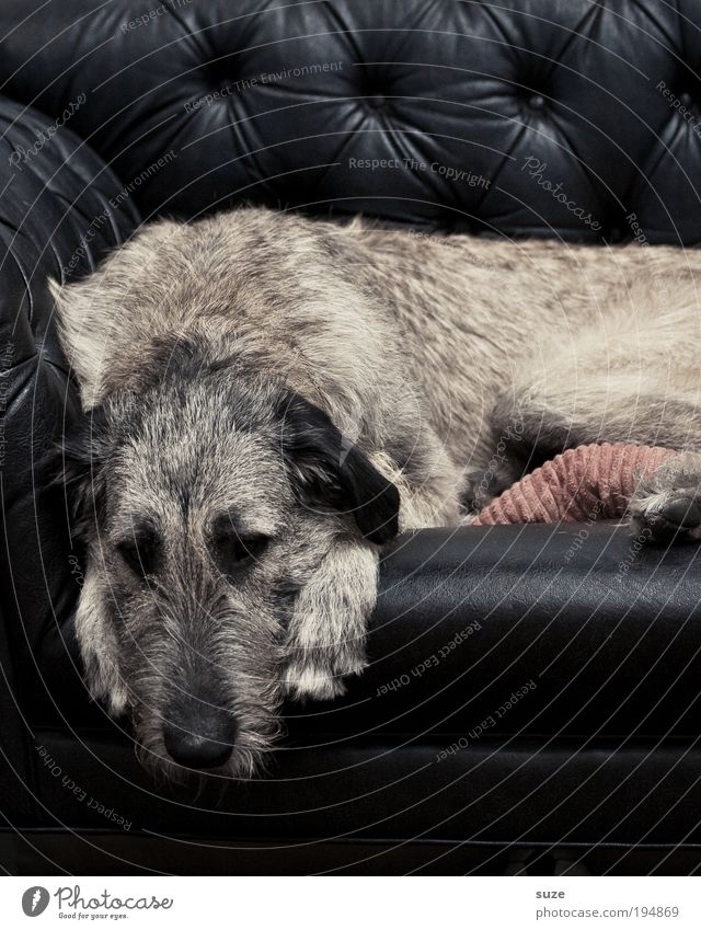 retirement Sofa Pelt Animal Pet Dog 1 Sleep Dream Sadness Black Love of animals Loyalty Rest Cuddling Snout Livestock breeding Mammal Purebred dog Watchdog