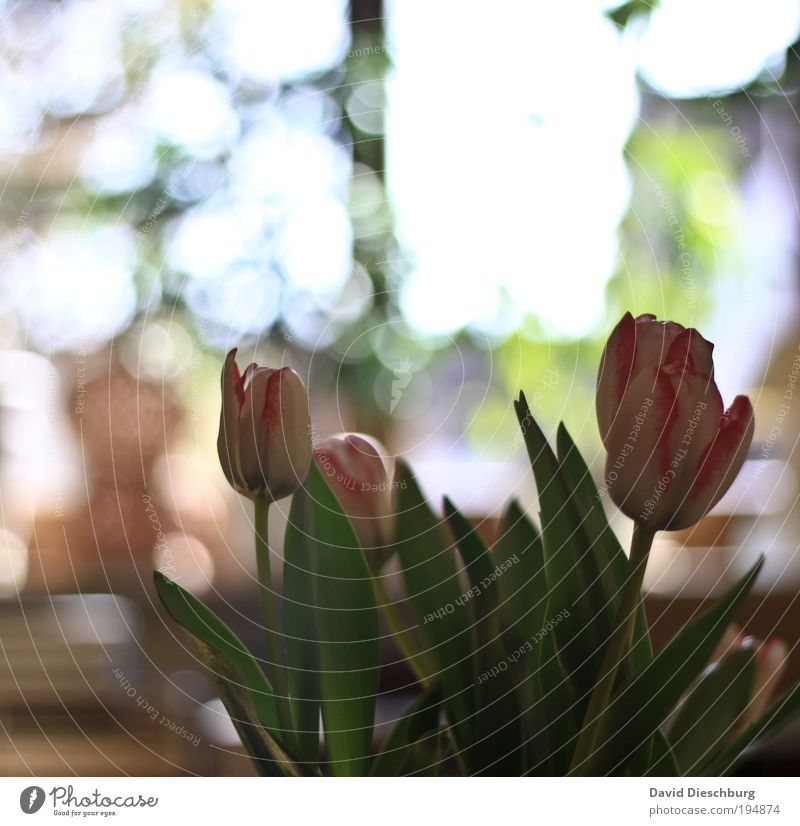 White Green Beautiful Summer Plant Flower Leaf Spring Blossom Bright Pink Decoration Bouquet Tulip Silver Bulb flowers