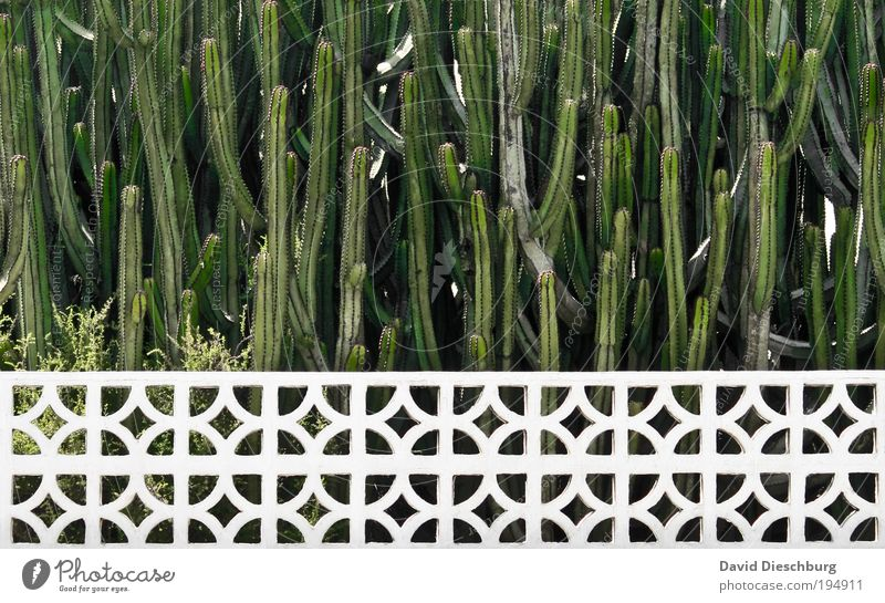 Have fun pruning! Plant Summer Cactus Foliage plant Garden Park Green White Growth Fence Line Horizontal Colour photo Exterior shot Pattern