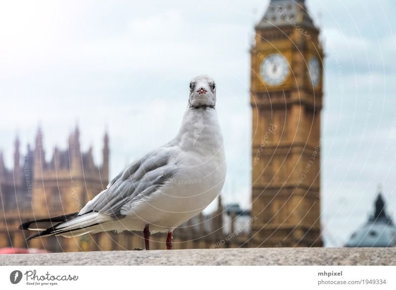 Seagull at Big Ben Vacation & Travel Tourism Trip City trip London England Europe Town Capital city Port City Downtown Palace Tower Manmade structures
