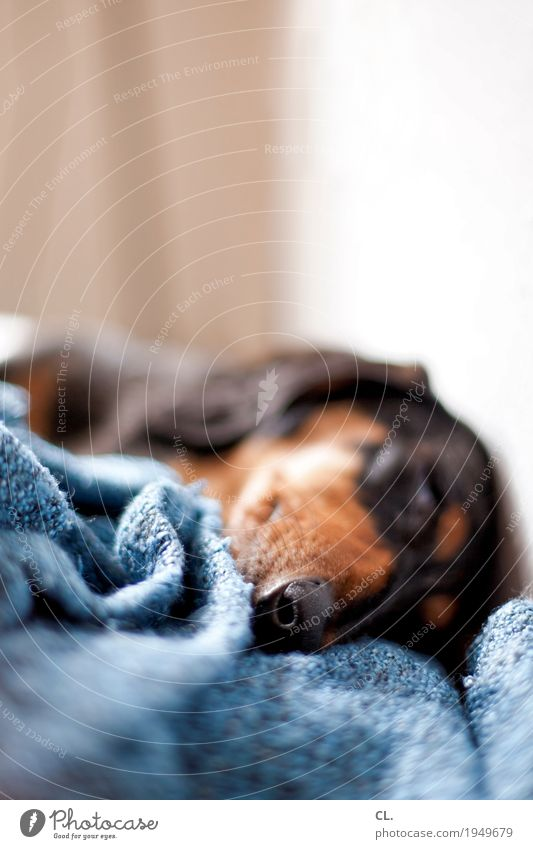 hibernation Living or residing Animal Pet Dog Animal face 1 Blanket Lie Sleep Cute Love of animals Relaxation Colour photo Interior shot Close-up Deserted
