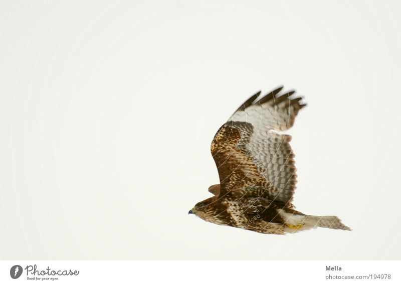 Nature Sky Animal Life Freedom Air Moody Brown Power Bird Environment Flying Hawk Esthetic Wing