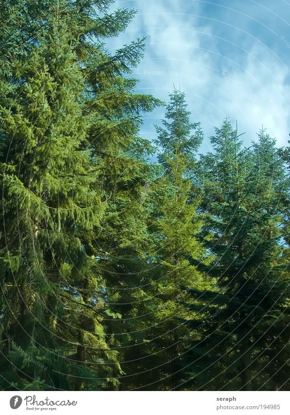 Fir Trees Plant Forest Environment Wood Natural Seasons Botany Holiday season Science & Research Verdant Fir needle Biology Conifer