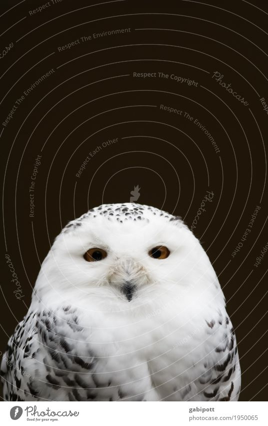 """To the international """"Love your Pet day"""" Animal Animal face Zoo Owl birds Snowy owl Natural Curiosity Black White Love of animals Contentment Happy Identity"""