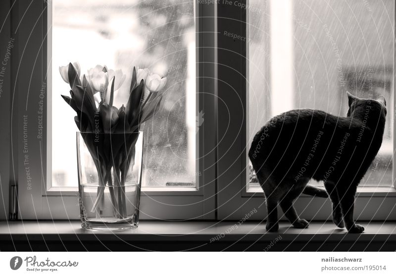 Flower Plant House (Residential Structure) Animal Emotions Window Cat Rain Drops of water Observe Tulip Pet Light Perspective Black & white photo