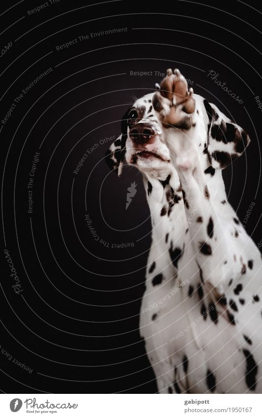 Please, please! Animal Pet Dog Dalmatian 1 Observe Beg Desire Puppydog eyes Love of animals Paw Cute Congenial Point Spotted Friendliness Colour photo