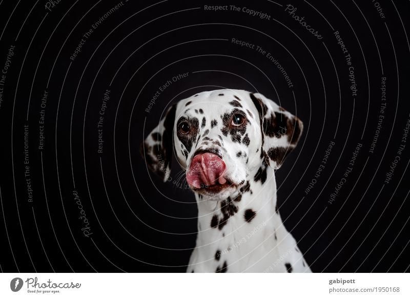 It smells so good. Animal Pet Dog Dalmatian 1 Observe Friendliness Beautiful Funny Cute Red Black White Love of animals Beg Puppydog eyes Desire Dog's snout