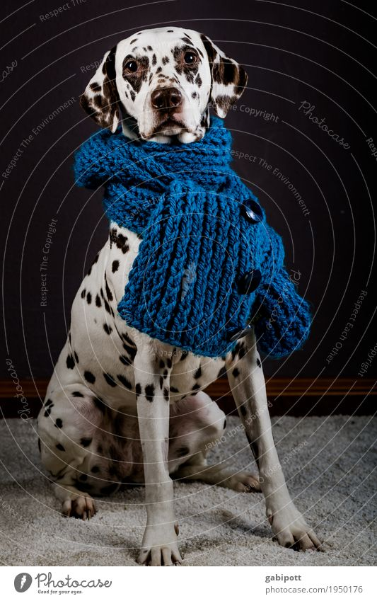 Dog Healthy Eating Animal Winter Life Lifestyle Health care Protection Pet Medication Common cold Safety (feeling of) Scarf Knitted Dalmatian
