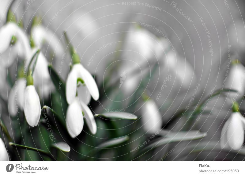 snowdrops Environment Nature Plant Spring Flower Leaf Blossom Esthetic Fresh Beautiful Small Positive Green White Happy Joie de vivre (Vitality) Spring fever