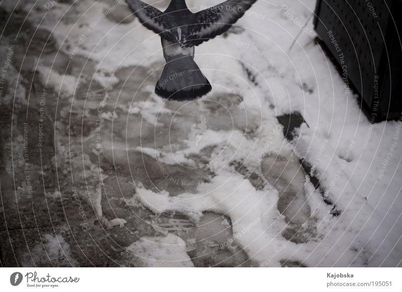 running away Air Winter Snow Town Footpath Tracks Animal Bird Pigeon Flying Going Free Speed Wild Blue Black Silver White Wanderlust Loneliness Fear Pride