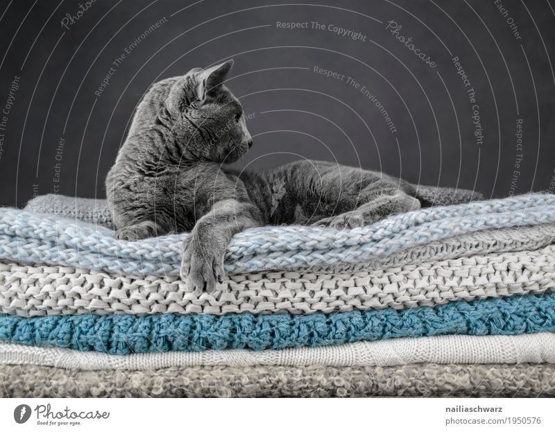 Russian Blue Cat Elegant Relaxation Animal Pet russian blue 1 Blanket knitted blanket Bed Observe Lie Looking Dream Cool (slang) Brash Beautiful Self-confident
