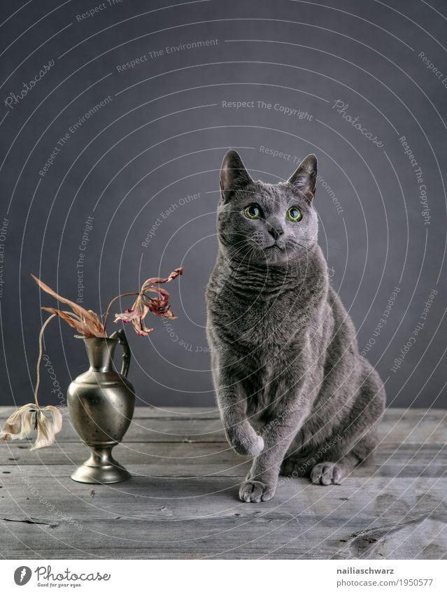 Russian Blue Cat Elegant Relaxation Animal Pet Animal face russian blue 1 Vase Containers and vessels Bouquet Tulip Wooden table Observe Looking Sit Wait