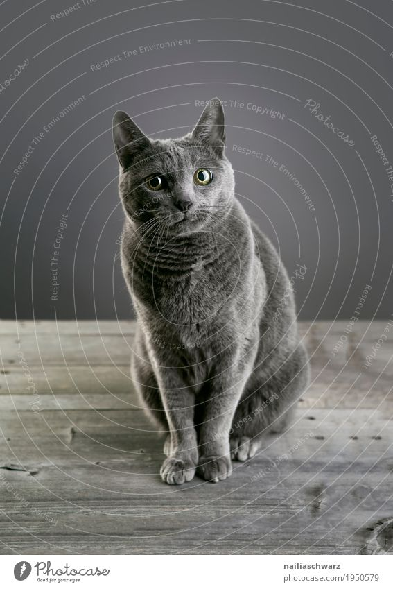 Russian Blue Cat Elegant Relaxation Animal Pet russian blue 1 Table Wooden table Observe Discover Looking Sit Friendliness Curiosity Cute Beautiful Gray