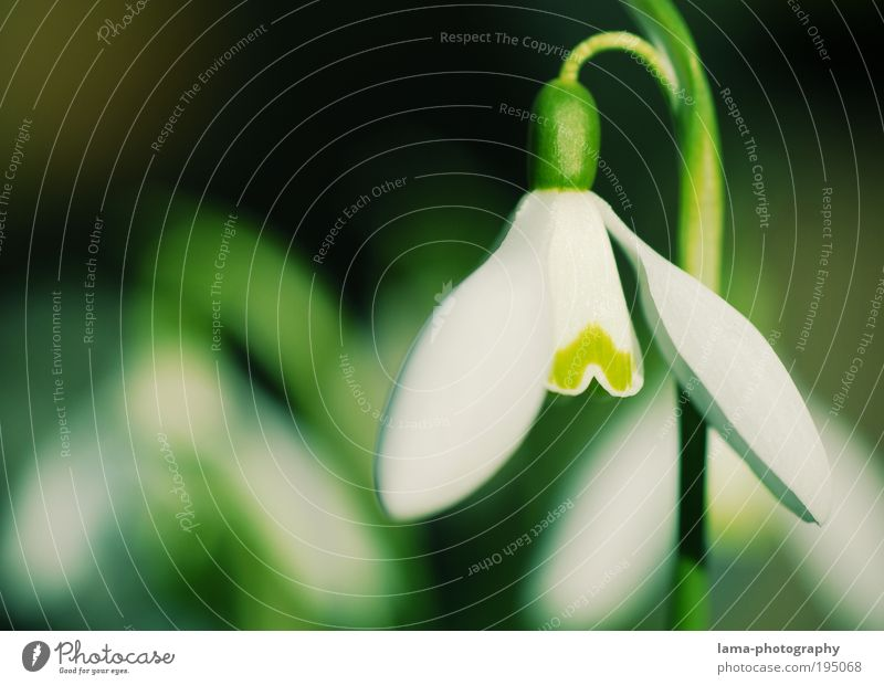 Nature Plant Green White Flower Spring Blossom Fresh Beautiful weather Seasons Delicate Spring flower Snowdrop Macro (Extreme close-up)