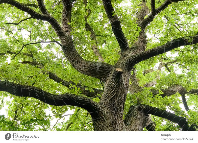 Old Oak Tree leaf leaves drink crown of tree forest crust wood Branch Branchage Environmental protection green lung bark age old giant Atmosphere Labyrinth