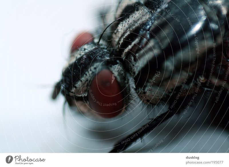 Blue Eyes Animal Dark Legs Small Fly Free Near Threat Wing Pelt Hide Disgust Pet