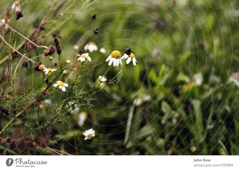 Nature Green Plant Flower Grass Sadness Wet Gloomy Bushes Transience End Storm Decline Distress Marguerite Bad weather